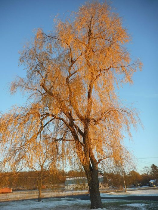 willow-at-stewart-park-in-sun-and-snow-on-blue
