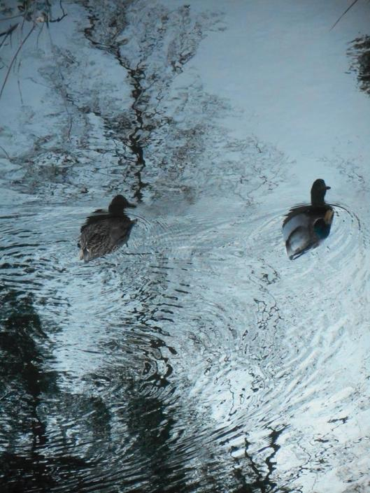 ducks-make-way-in-their-floating-world