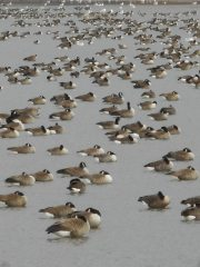 geese-and-gulls-that-were-luxuriating-napping-preening-and-having-day-dreams-of-a-geese-kind-12-14-15-a