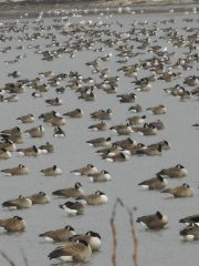 geese-and-gulls-that-were-luxuriating-napping-preening-and-having-day-dreams-of-a-geese-kind-12-14-15-c