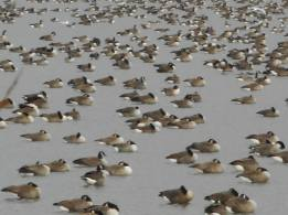 geese-and-gulls-that-were-luxuriating-napping-preening-and-having-day-dreams-of-a-geese-kind-12-14-15