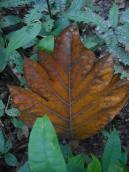 peru-leaf