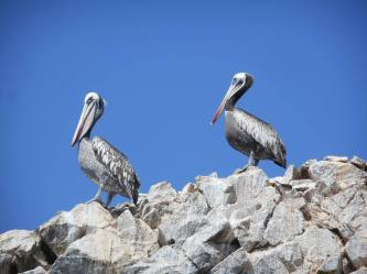 peru-pelicans-on-ballestas-island-near-paracas-10-28-14