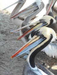 peru-pelicans