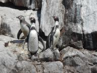 peru-the-ballestas-islands-are-covered-by-sea-birds-sea-lions-seals-and-penguins-here-are-a-few-of-the-little-penguins-10-28-14