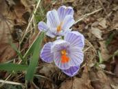 crocus time