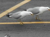gull at E. Hill Plaza 3-21-15 -b