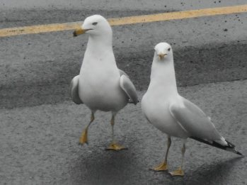 gulls at E. Hill Plaza 3-21-15