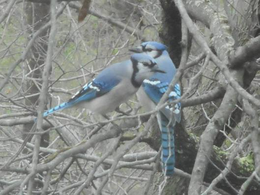 blue jay when another arrived to get in the picture too... 4-12-16--- in our backyard