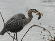 Great blue heron a moment after catching a fish ... Sapsucker Woods 4-12-16-a