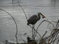Great Blue Heron catching a fish 4-12-16- Sapsucker Woods