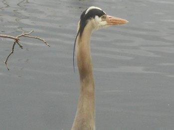 Heron gaze 4-12-16