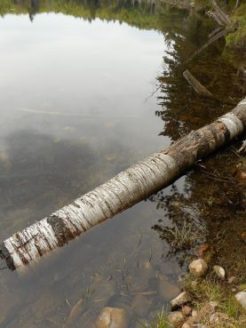 Adirondacks- Pharaoh Lake- Birch logs in Grizzle's Ocean ( pond) where we spent the night on our overnight hike... 5-24-15 a