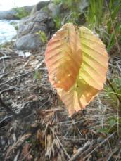Adirondacks- two leaves, low to the ground already turning in the summer