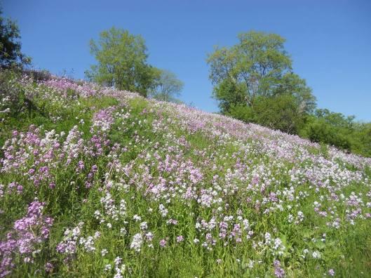 hillside phlox in a happy dazzle ....