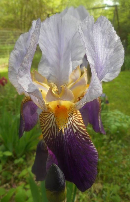 iris photos from our back yard today-5-27-16 a