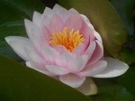 lotus pond Oklahoma City 5-26-16 b