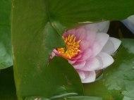 lotus pond Oklahoma City 5-26-16 d