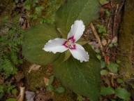 Painted Trillium - Pharaoh Lake-Mtn. Loop hike that I did with Casey exactly a year ago today-5-26-15