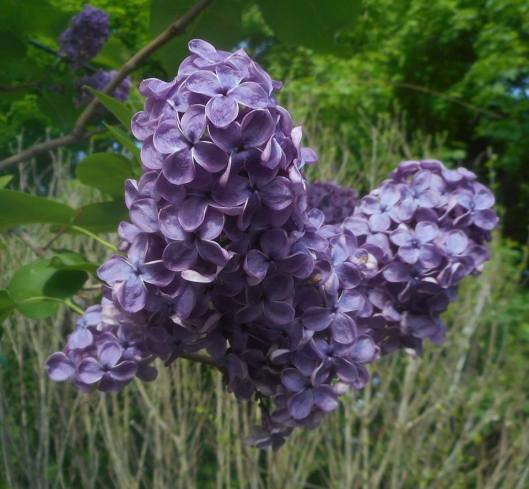 the quiet faithfulness again this year lilac