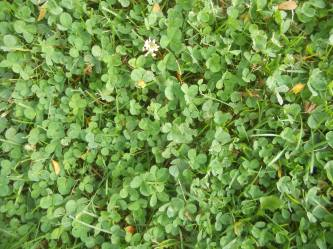 a spread of clover just right for a four leafed one...