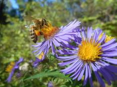 asters- little miners - -searching for a heart of gold'