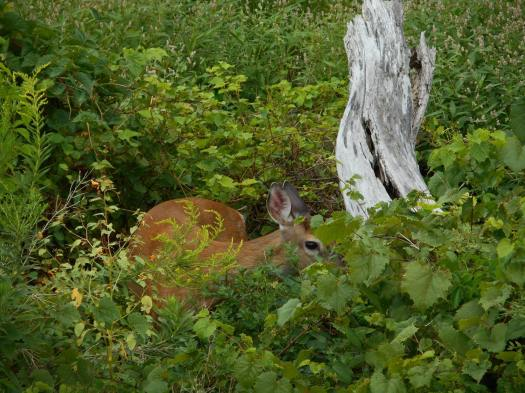 deer looking through the greenery