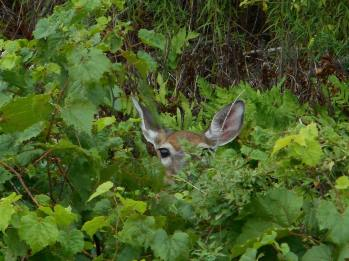 deer -peek-a-boo in a green deep glade - 8-31-16