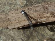 dragonfly landing together