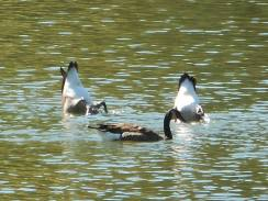 Geese feeding on Beebe Lake 9-20-16...