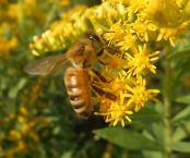 honeybee on goldenrod photos from today. 9-19-16-