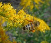 honeybee on goldenrod photos from today. 9-19-16--
