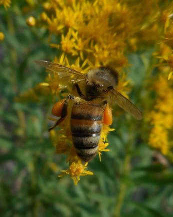 honeybee on goldenrod with full leg baskets