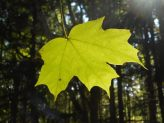 maple leaf sun lit