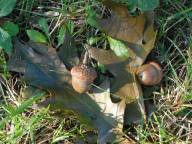 oak trees have been dropping a bumper crop of always neat looking acorns...