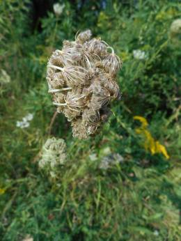 Queen Anne's Lace clenched