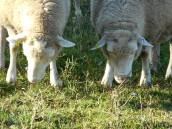 sheep with their nose in their business