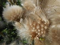 thistles gone to seed - 9-28-16-