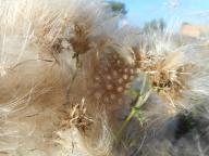 thistles gone to seed - East Hill