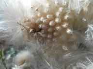 thistles gone to seed