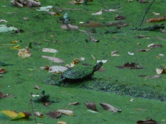 turtle at Sapsucker Woods 9-26-16