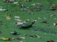 turtle covered in green in duckweed covered pond at Sapsucker Woods 9-26-16