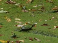 turtle green from a thick duckweed at Sapsucker Woods 9-26-16