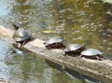 turtle line up on a log at Sapsucker Woods 9-26-16