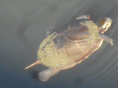 turtle surfacing -