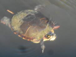 turtle suspended -