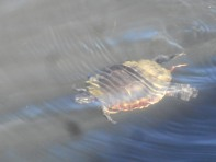 turtle swimming in light