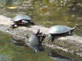 turtles balance the sun on a log