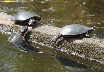 turtles on a log 9-26-16
