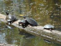 turtles vy for space on the log